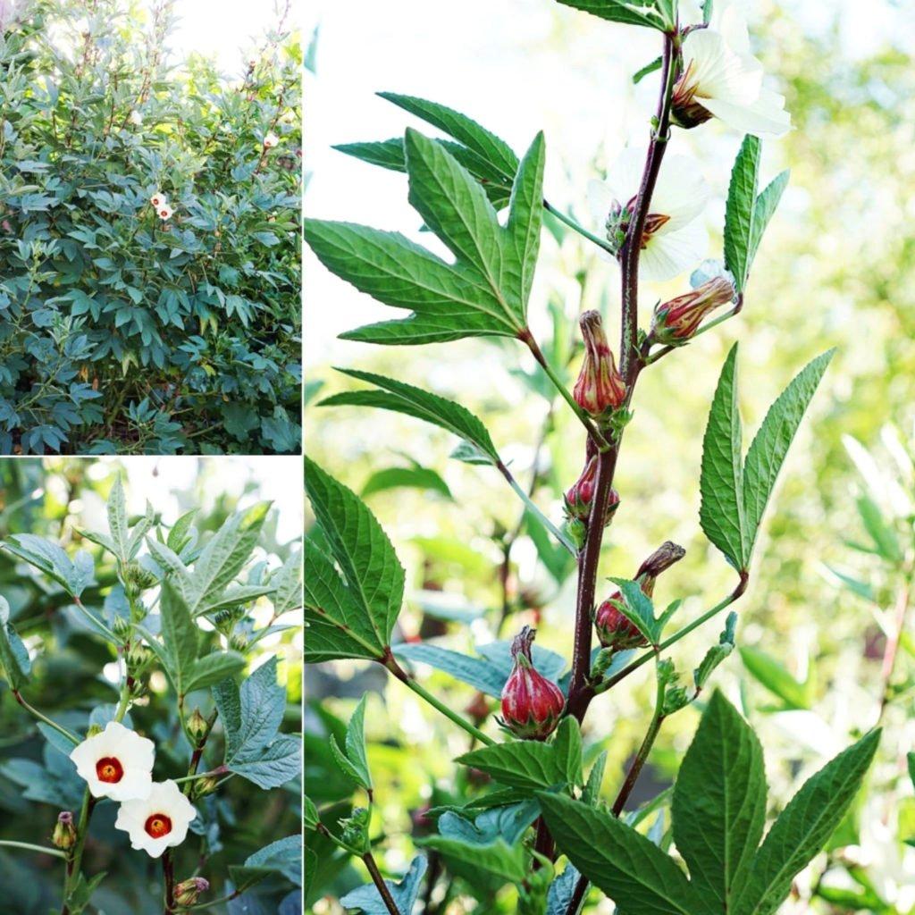 roselle flower plants in a garden